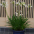 鉢植えのアガパンサス (白)