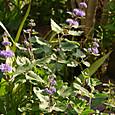 ダンギク(紫)