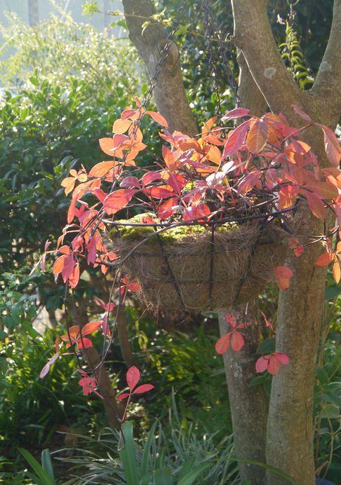 2012 9/26 ヘンリーツタの紅葉