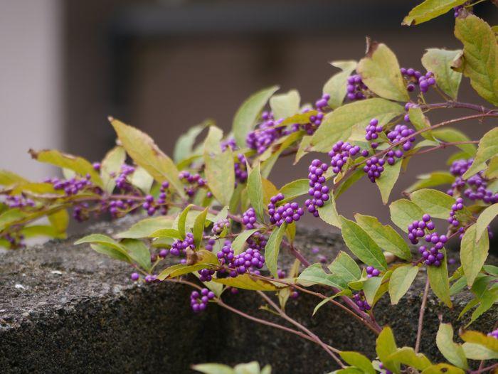 2012 10/18 コムラサキシキブ