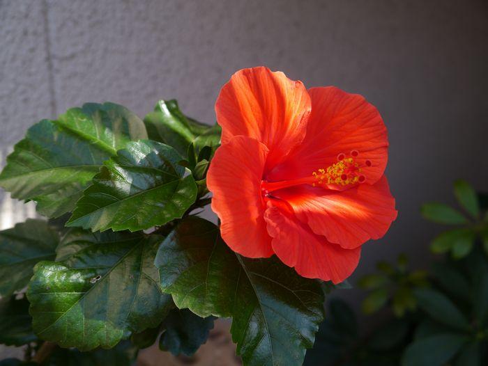 2012 10/21 ハイビスカス