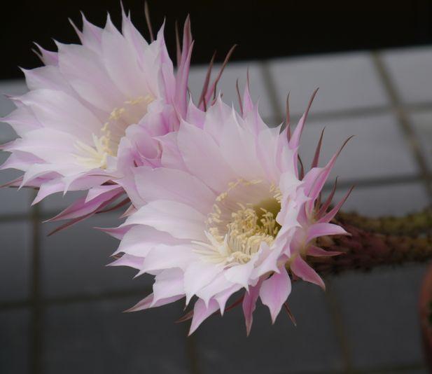 2013 7/1 サボテンの花